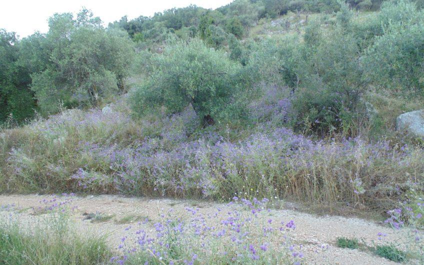 Flat olive grove