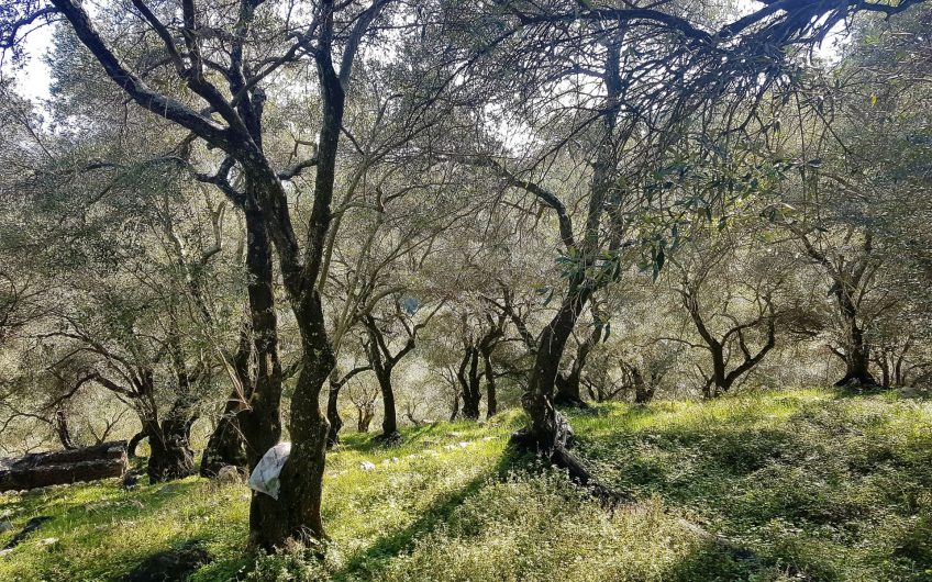 Land immersed in olive groves