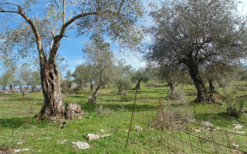 Big plot immersed in olive trees